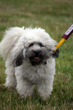 Lowchen aka Little Lion Dog. Cute little Lowchen puppy out on a walk Stock Images
