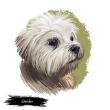 Lowchen little lion dog, petit chien toy breed digital art illustration. French canine, pet originated in France with. Long and wavy coat. Portrait closeup of royalty free illustration