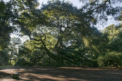 Lowcountry scenico Charleston Angel Oak Tree fotografie stock libere da diritti
