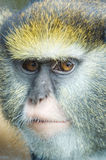 Lowe's Guenon. Looking at viewer Stock Photo