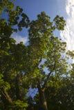 Lowen metar beskådar av trees Arkivbild
