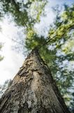 Lower angle shot, under the trunk of sea oak tree Casuarina equ Royalty Free Stock Photography