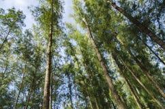 Lower angle shot, under the trunk of sea oak tree Casuarina equisetifolia park Stock Photo