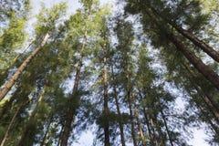 Lower angle shot, under the trunk of sea oak tree Casuarina equisetifolia park Stock Photos