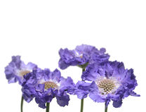 Lower border of blue Scabious. Isolated on pure white background Royalty Free Stock Photo