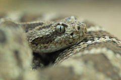Lower California rattlesnake Stock Photography
