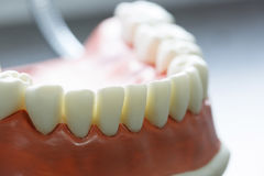 Lower jaw dental model Stock Image