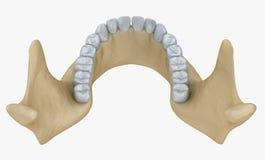 Lower jaw skeleton and teeth anatomy Stock Photos