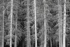 The lower layer of the pine forest does not penetrate the sunlight. Trees without needles. Gloomy mood. Gray and black colors. Nat. Ure of the Moderate Climate royalty free stock photography