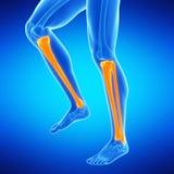 the lower leg bones Stock Photography