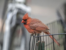 Lower Manhattan in New York City. Northern cardinal ,Cardinalis cardinalis, is a North American bird in the genus Cardinalis; it is also known colloquially as Royalty Free Stock Images