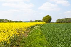 Lower Normandy / France: Green and yellow fields with rapeseed in bloom and young wheat plants in the French count royalty free stock photo