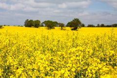 Rapeseed field in bloom in the French countryside in spring with trees on the horizon Stock Photography
