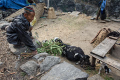 Lower Pissang, Nepal - MARCH 15 2016: Old man feeding his goat a Royalty Free Stock Images