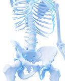 The lower spine. Medically accurate illustration of the lower spine Royalty Free Stock Images