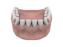 Lower teeth with gums. In white background. Easy to isolate royalty free stock photo