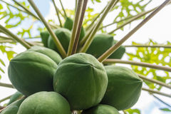 Lower view of papaya tree full of green fruit. Royalty Free Stock Images