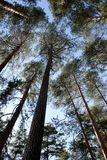 Lower view of the tops of tall slender pines. Blue sky through the trees stock photos