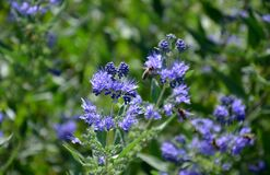 It is a lower woody shrub that offers late summer flowering of deep blue-violet color. The Heavenly Blue variety bears almost si