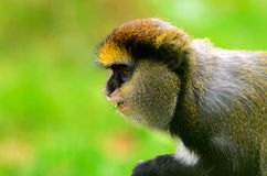 Lowes Guenon Royalty Free Stock Photography