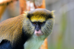 Lowes Guenon Stock Photos
