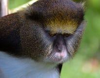 Lowes Guenon Στοκ Φωτογραφία