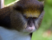 Lowes Guenon Stock Photography