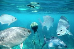 Lowfin chub fishes underwater around buoy Stock Photo