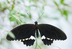 Lowi butterfly on the green leaf royalty free stock photos