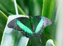 Lowi butterfly on the green leaf stock image