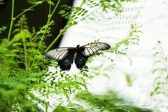 Lowi Swallowtail που πετά προς εγκαταστάσεις Στοκ φωτογραφία με δικαίωμα ελεύθερης χρήσης