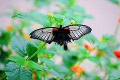 Lowi Swallowtail na kwiaty zdjęcia royalty free