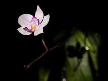 lowii兰花植物 库存照片