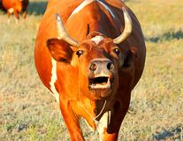 Lowing der Kuh lizenzfreies stockfoto