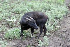 Lowland anoa, Bubalus depresicornis. Single captive, animal on grass, Indonesia, March 2011 Royalty Free Stock Photography