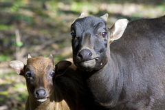 Lowland anoa (Bubalus depressicornis). Young lowland anoa or dwarf buffalo (Bubalus depressicornis) and its mother stock photography