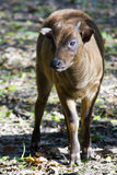 Lowland anoa (Bubalus depressicornis) calf. Young lowland anoa or dwarf buffalo (Bubalus depressicornis Royalty Free Stock Photo