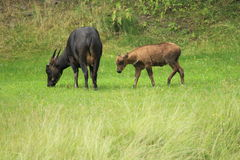 Lowland anoa Stock Images