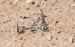 Lowland Branded Blue Uranothauma falkensteini Butterflies on the Ground Stock Photography