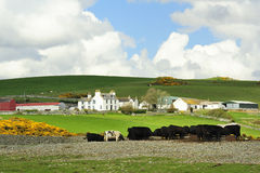 Lowland cattle farm, Scotland Stock Photo