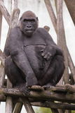 Lowland gorilla Stock Photo
