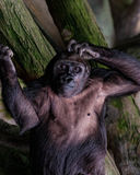 Lowland Gorilla Royalty Free Stock Images