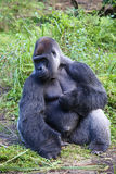 Lowland Gorilla. A male silver backed Lowland Gorilla sitting in grass Stock Photography