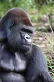 Lowland Gorilla. A male silver backed Lowland Gorilla sitting in grass Royalty Free Stock Photography
