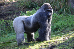 Lowland Gorilla. A male silver backed Lowland Gorilla walking in grass Stock Images