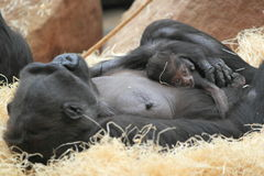 Lowland gorilla birth Stock Photo