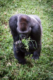 Lowland Gorilla Eating Grass Royalty Free Stock Image