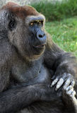 Lowland Gorilla Royalty Free Stock Photos