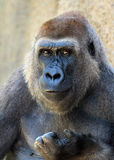 Lowland Gorilla Royalty Free Stock Photo