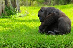 Lowland gorilla going to rest Royalty Free Stock Photo
